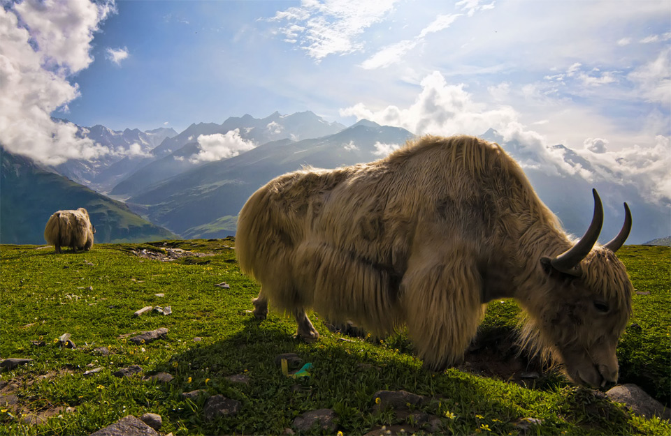Himalayas-yaks-facts